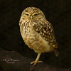 Burrowing Owl (Through-my-eyes.) Tags: owl bird feather feathers beak gallons eyes burrowing burrowingowl dartmoorzoo