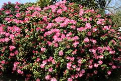 Rhododendron (Eichental) Tags: essen frühling gruga grugapark rhododendron