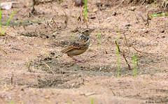 Indochinese Bushlark (Mirafra erythrocephala) (Steve Arena) Tags: thailandbirding2017 thailand 2017 bird birds birding nikon d750 chiangmai mirafraerythrocephala bushlark indochinesebushlark