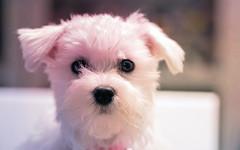 the stare down HSS (Dotsy McCurly) Tags: nikond850 tokinaatxm100prod100mmf28macro bunny cute puppy dog maltese hss happysliderssunday adobephotoshop textures 7dwf fauna