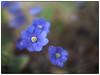 Mitakon Blåveis (Krogen) Tags: norge norway norwegen akershus romerike ullensaker jessheim blomster flowers krogen mitakonspeedmaster olympuspenf