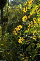 af1804_3494 (Adriana Füchter ... thank you for 5 Million Views) Tags: adrianafüchter freesialaxa oxalissp flor seneciobrasiliensis flordasalmas flordefinados cravodocampo ervalanceta mariamole malmequer asteraceae