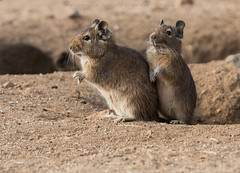 Degú alertas (mauricio.moya82) Tags: degú reserva nacional chinchillas mamífero roedor cola pluma chile illapel coquimbo choapa ratón