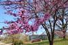 Red Buds (Jen_Vee) Tags: trees redbud bloom valleyforge visitor center pink bluesky mspring breeze grass hill nationalparks