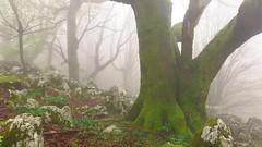 Bosque misterioso (Carpetovetón) Tags: niebla hayas bosque hayedo colores monte sonya6000 árbol
