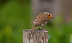 """Robin Robins"" (Adam Swaine) Tags: robinredbreast robins birds britishbirds englishbirds gardenbirds rspb nature wildlife woodland canon uk peckhamryepark britain british animals spring londonparks"