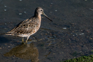 Breakfast Time for Mr. Dowitcher