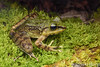 Kinabalu Torrent Frog (Meristogenys kinabaluensis) (Steven Wong (ATKR)) Tags: steven wong siew por atkr45 stryker wsp atkr herp herping malaysia kinabalu torrent frog meristogenys kinabaluensis