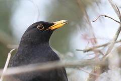 Heads up! (M_squared Images) Tags: blackbird turdusmerula msm1935 lancs silverdale rspbleightonmoss