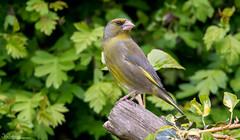 Greenfinch (Steve (Hooky) Waddingham) Tags: stevenwaddinghamphotography bird british wild wildlife finch countryside nature photography garden