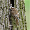 Tree Creeper (image 2 of 2) (Full Moon Images) Tags: rspb sandy lodge thelodge wildlife nature reserve bedfordshire bird tree creeper building nest