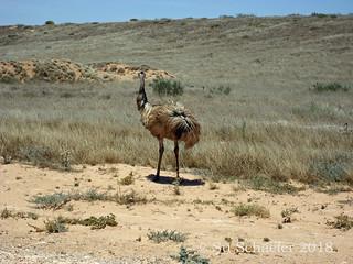 Emus along the road, Western Australia (2 of 3)
