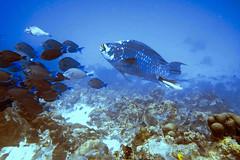 Midnight parrotfish and surgeonfishes (Jeff Mitton) Tags: midnightparrotfish bluetang doctorfish surgeonfish reef coral coralreef scuba tropical marine bonaire netherlandantilles earthnaturelife wondersofnature