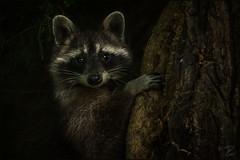 Waschbär (Raccoon) (tzim76) Tags: waschbär procyon lotor raccoon wildlife nature outdoor neozoon sachsen dunkel dark baum tree