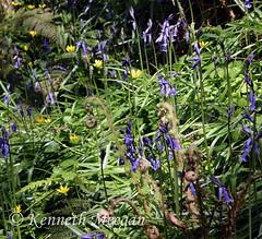 Forest's Ferny Floor (Ken Meegan) Tags: forestsfernyfloor blubell fern forest tinterntrails tinternabbey saltmills cowexford ireland flowers forestfloor 652018 tinternwood