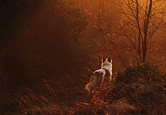 after the goldrush (A child in the night) Tags: gold light luke neilyoung sheepdog red bordercollie england cheshire