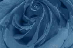 true blue ... (mariola aga) Tags: flower rose blue hue macro closeup thegalaxy alittlebeauty coth