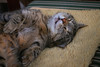 Zonked out ! (FocusPocus Photography) Tags: sethi katze kater cat chat gato tier animal tabby pet müde tired sleepy schläft asleep haustier