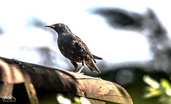 Starling (John R Woodward Photography) Tags: starling britishgardenbirds birds british britain nature mothernature wildlife canon canondslr canoneos canonllenses canon5dmarkiv llenses