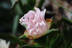 Fleur de cactus (Missfujii) Tags: fleur nature printemps