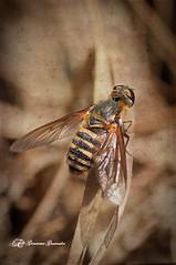 Mosca disfrazada (Geno G.) Tags: mosca abeja naturaleza nature nikond90 macrofotografía macro explored explore exterior texturas texture alas insect insecto