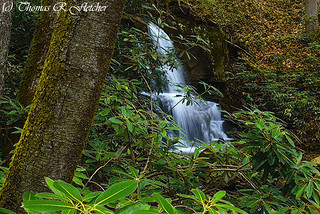 Rhododendron and Waterfall