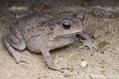Common Malayan Toad (Duttaphrynus melanostictus) (Steven Wong (ATKR)) Tags: steven wong siew por atkr45 stryker wsp herps atkr herp herping malaysia common malayan toad duttaphrynus melanostictus