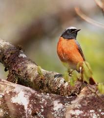 COMMON REDSTART ♂️ (Bradders62) Tags: commonredstart sigma150500mmf563dgoshsmlens canoneos7d birds wildbirds gardenbirds britishbirds nature wildlife yarnerwood dartmoor devon southwest
