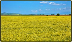Transylvania, Romania: Yellow fields (2) (Ioan BACIVAROV Photography) Tags: tree arbre spring primavara printemps natura nature green flower flowers fleur fleurs floare flori season anotimp transylvania romania yellow field bacivarov ioanbacivarov bacivarovphotostream interesting beautiful wonderful wonderfulphoto nikon