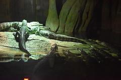 Alligators (Adventurer Dustin Holmes) Tags: 2018 wondersofwildlife animals animalia chordata reptiles reptilia alligators missouri zoo ozarks springfieldmo springfieldmissouri greenecounty exhibit carnivores carnivorous predators reptilian reptile gators pile