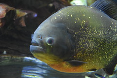 Red Piranha (Adventurer Dustin Holmes) Tags: 2018 wondersofwildlife animal animalia chordata fish piranha redpiranha underwater aquarium