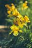Yellow iris (Inka56) Tags: iris yellow yellowandgreen flowers bokeh bokehlicious garden hbw 7dwf supertakumar255 oldlens manualfocus bokehpainting macroorcloseup