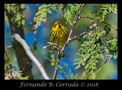 Cape May Warbler (7033) (fbc57) Tags: sigma150600dgoshsmsport vermont birds greenwoodcemetery bristol nikond850 capemaywarbler setophagatigrina warblers woodwarblers