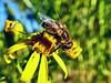 Der Tisch für Bienen ist gedeckt. (W@llus2010) Tags: bee biene honig pollen nahaufnahme macro