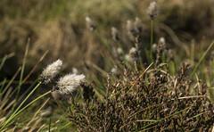 Cotton Grass (l4ts) Tags: landscape derbyshire peakdistrict darkpeak combsmoss heather moorland cottongrass