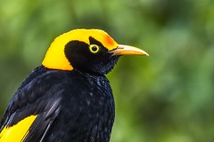 Regent Bowerbird (Geoffsnaps) Tags: ilovebirds ilovenature feathers birds animals nature beautiful beautyofnature birdsarebeautiful superbbirds nikond810 nikon d810 fx regent bowerbird sericuluschrysocephalusregent oreillys outdoor resort nikonnikkor200500mmf56eedafs nikkor 200500mm f56e e ed afs acratechpanoramichead acratech panoramic head gitzogm5541carbonmonopod gitzo gm5541 carbon monopod spectacular bird golden black bright oreillysresort lamingtonnationalpark greenmountain queensland australia explored