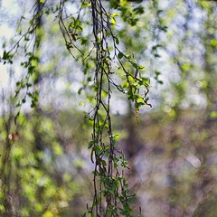 Birch bloom (Stefano Rugolo) Tags: stefanorugolo pentax k5 pentaxk5 ricoh ricohimaging helios442 helios44258mmf2 birch bloom bokeh swirl depthoffield spring nature hälsingland sweden branches foliage tree light green curtain