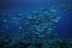 All Eyes On Me 2 (merbert2012) Tags: rajaampat diving scuba nature nationalpark indonesia wildlife underwater underwaterphotography travel tauchen nikond800 aquaticahousing fish jacks bigeyetrevally ocean water sea