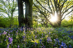 Bluebell sunset (Daniel James Greenwood) Tags: southdownsnationalpark southdowns danielgreenwood danielgreenwoodphotography