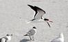 Black Skimmer (Rynchops niger);  Venice, CA, Venice Beach [Lou Feltz] (deserttoad) Tags: nature animal water park florida bird wildbird tern gull flight behavior beach