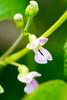 インゲン豆の花