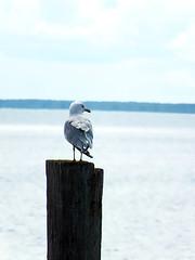 Seagull (michaeldantesalazar) Tags: hecla seagull gull nature bird wild wildlife post dock lake canada lakewinnipeg summer birding photography fujifilm