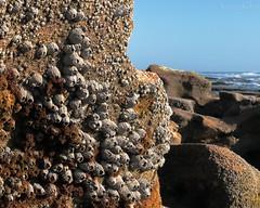 IMG_0242barnacles w (grilee3) Tags: marineland beach florida coquina rocks ocean atlanticshore