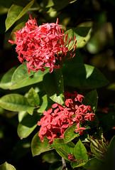 Ixora (Anthony Mark Images) Tags: flowers redflowers hedges flora prettyflowers ixora rubiaceaefamily shrubs pretty jamaica westindies caribbean sundaylights