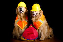 Safety First (bztraining) Tags: 118 dogchal henry odc zachary bzdogs bztraining golden retriever 3652018 100xthe2018edition 100x2018 image42100