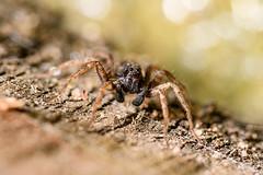 DSC_7856-Edit (TDG-77) Tags: nikon d850 sigma 105mm f28 macro os hsm garden spider