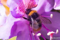 _DSC0457-Modifier (JPGerardyPhotography) Tags: 2018 d500 jardin luttre macro mai bee fleur abeille bourdon