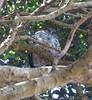 Powerful Owl (tom_2014) Tags: ninox strenua ninoxstrenua owl strigidae powerful powerfulowl nocturnal predator raptor bird birds ecology nature biodiversity wild wildlife animal species avifauna australia australian australianbirds australianwildlife nsw newsouthwales sydney park centennialpark
