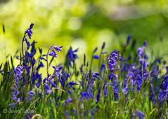 Bluebell Bokeh (JKmedia) Tags: spring may 2018 cornwall lanhydrock nationaltrust boultonphotography bluebells blue green sunny warm bokeh