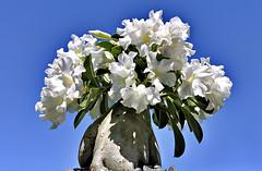 Desert Rose (ccccSCORPcccc) Tags: desert rose bonsai white flowers blue sky harelbeke belgium sunny
